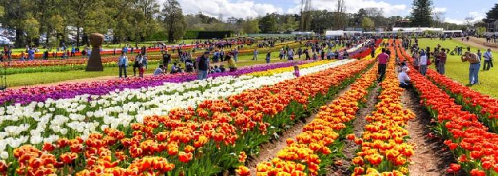 Kashmir Tulip Festival