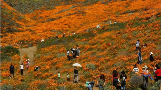 Safety Crisis by Poppy Super Bloom Tourists in California