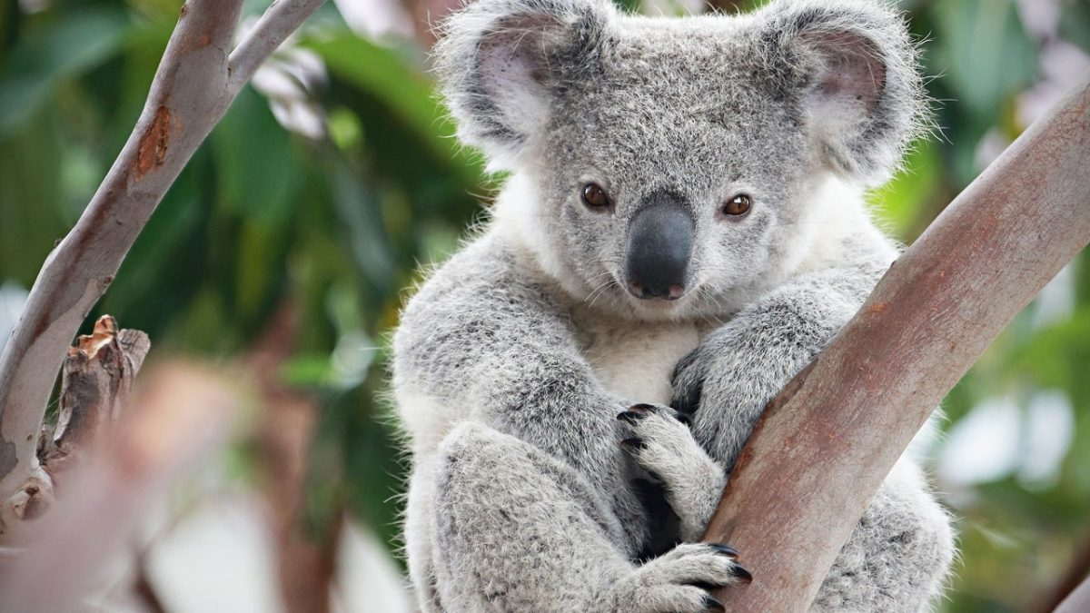 "Koalas now considered ""functionally extinct"""