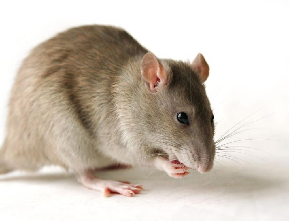 Rats Love Games of Hide and Seek: Research Reveals